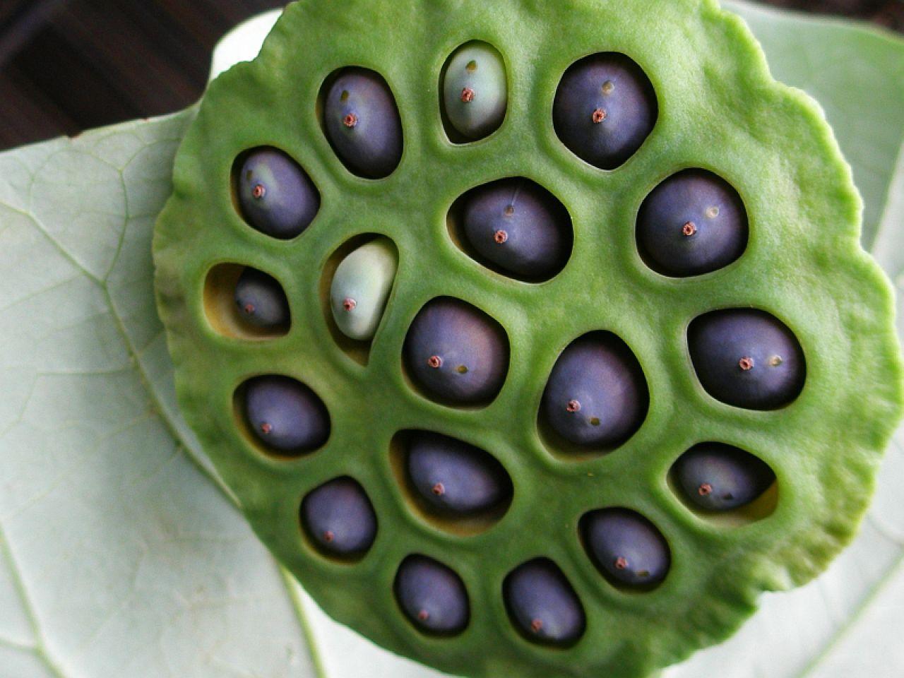 semilla de loto